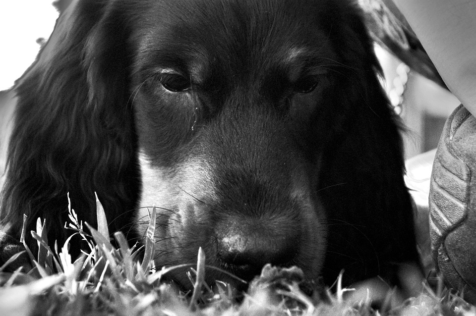 Dog, Setter, Gordon, Park, Muzzle, Grass