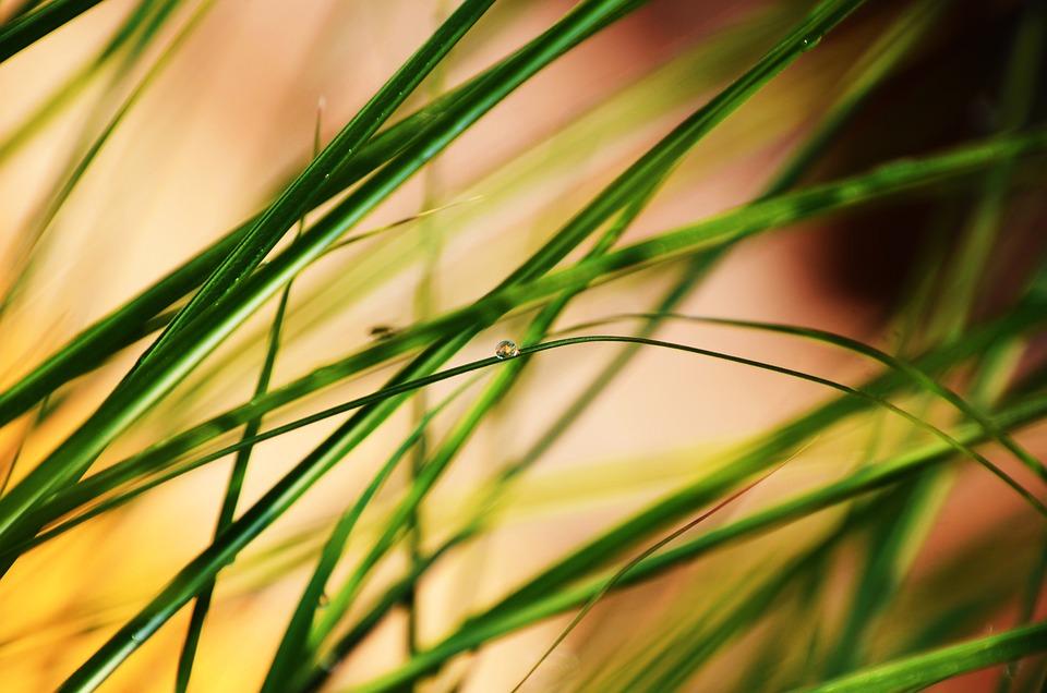 Grass, Pampafű, Dew-drop, Dew, Drop, Nature, Green