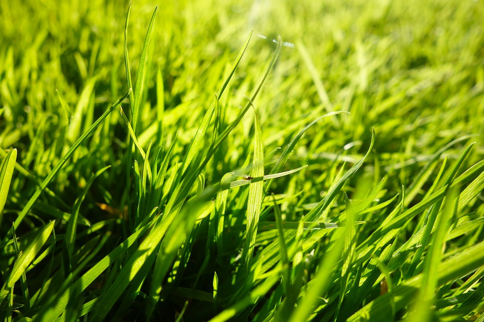 Grass, Grass Blades, Lawn, Ground Covering, Macro