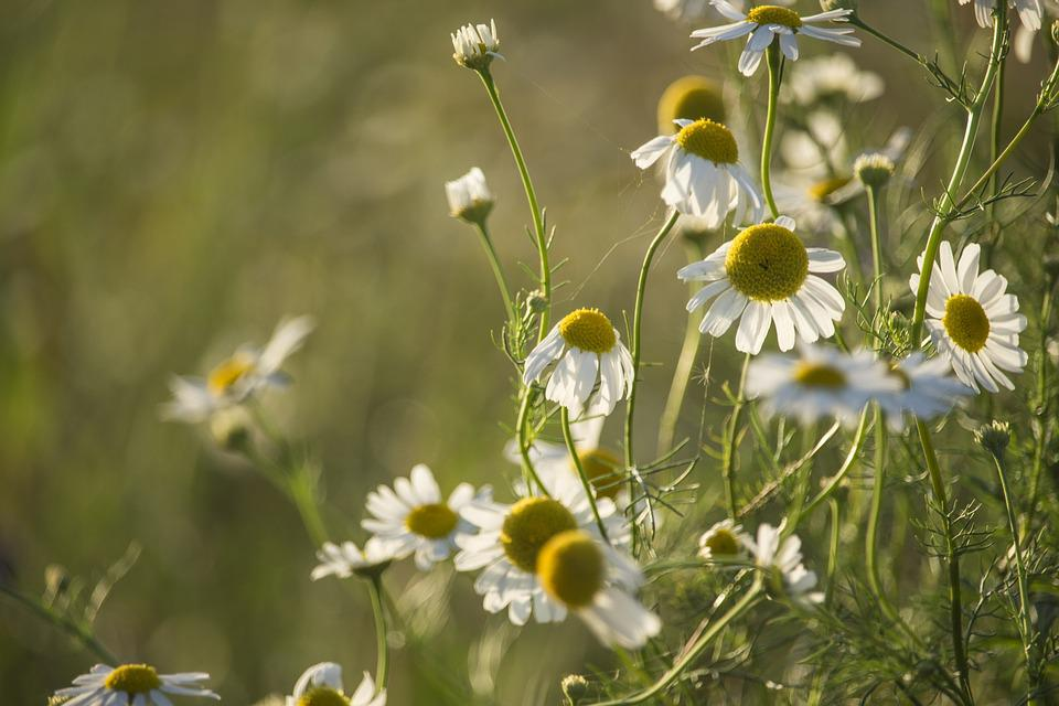 Chamomile, Herbs, Evening, Heat, Summer, Meadow, Grass