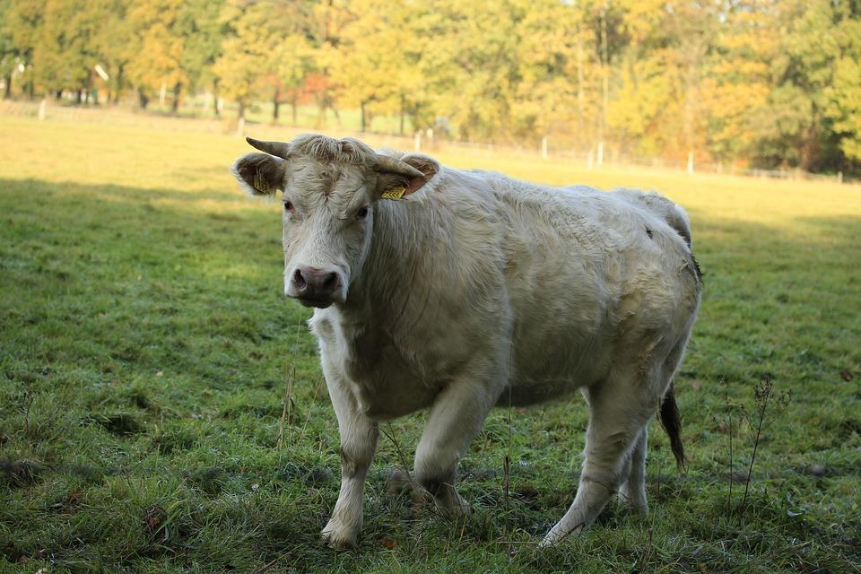 Cow, Meadow, Herkauwer, Grass, Countryside