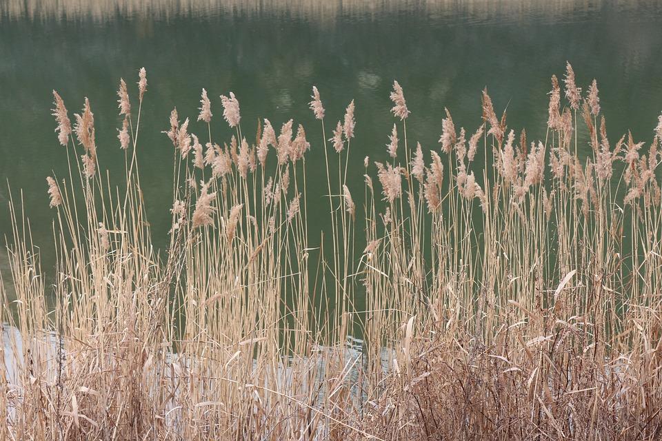 Reed, Swamp, Green, Grass, Lake, Landscape