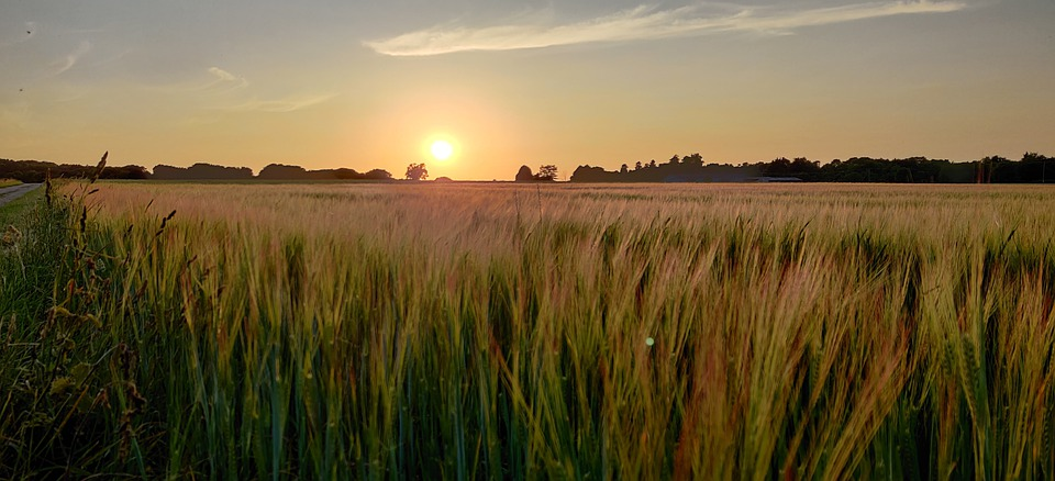 Sunset, Field, Crop, Landscape, Nature, Sky, Grass