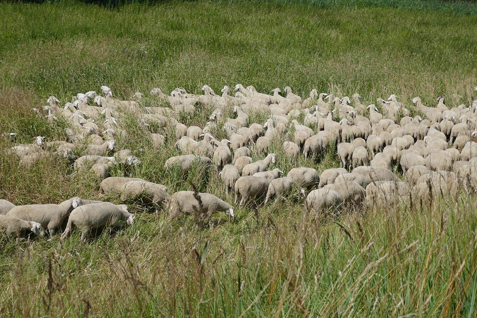 Flock Of Sheep, Grass, Meadow, Sheep, Animal, Landscape