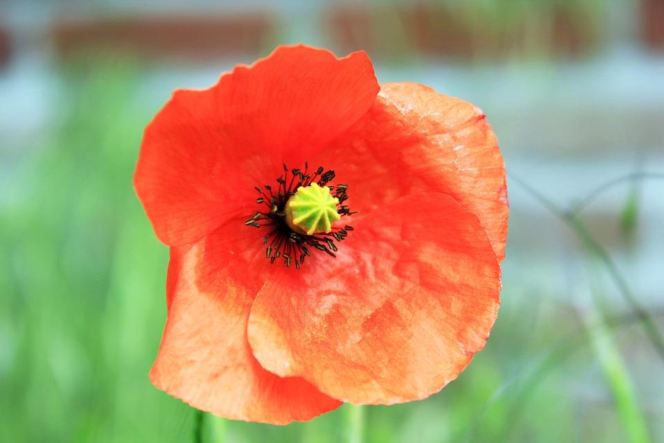 Poppy, Leaves, Red, Grass, Garden