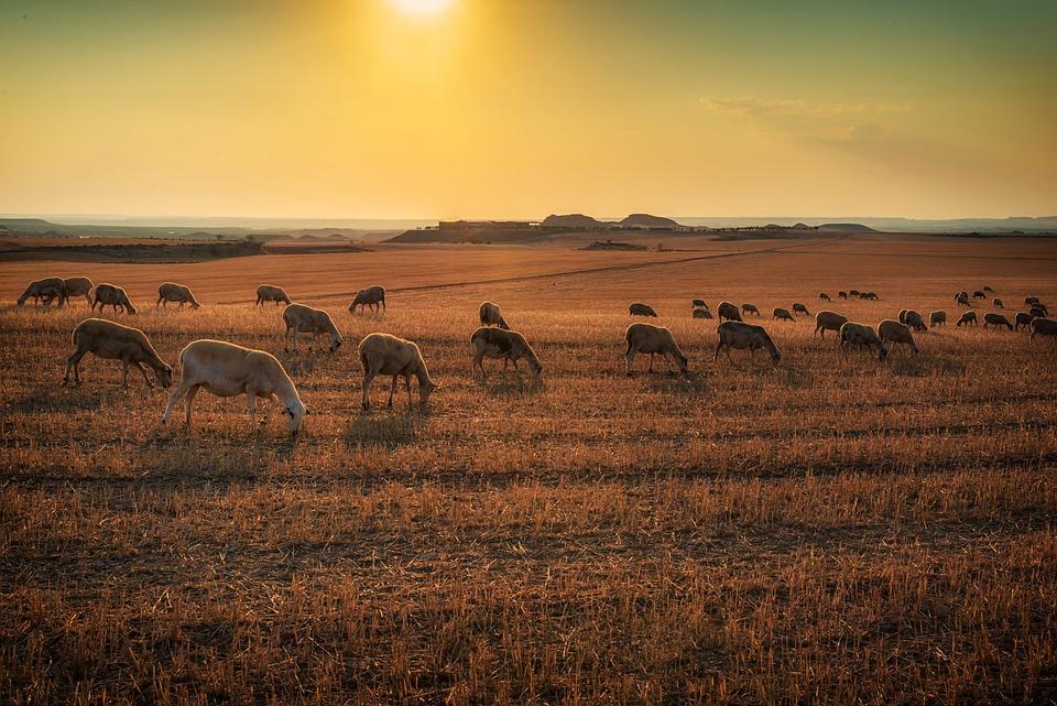 Lamb, Animals, Animal, Grass, Sheep, Livestock