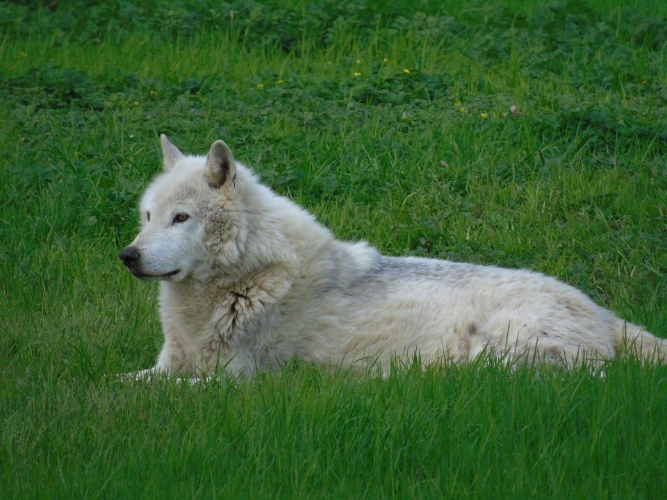 Grass, Mammal, Animal, Hayfield, Nature, Wolf, Fur, Dog
