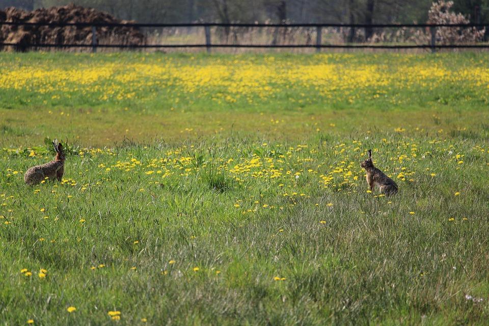 Hares, Meadow, Grass, Wildflowers, Field, Grasslands