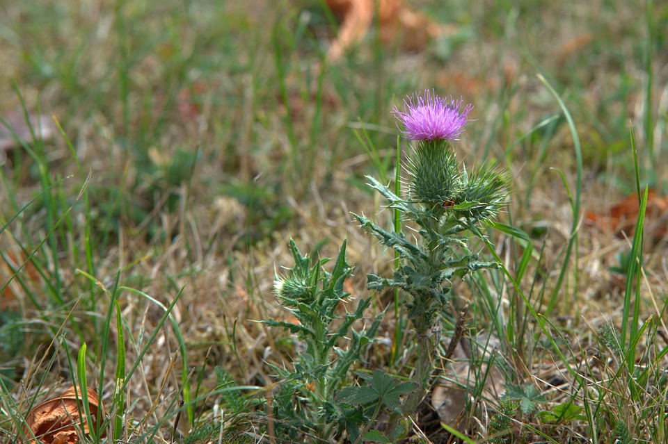 Thistle, Flower, Meadow, Grass, Summer, Nature, Plant