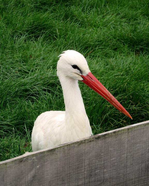 Stork, Bird, Bill, Fence, Meadow, Grass, Rattle Stork
