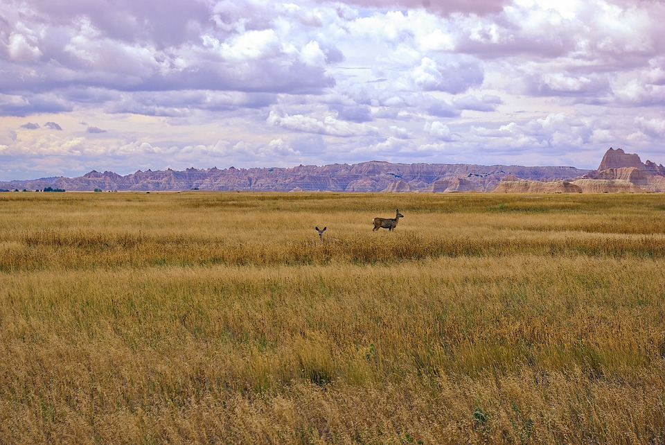 Mule Deer In Badlands Grass, Deer, Grass, Nature