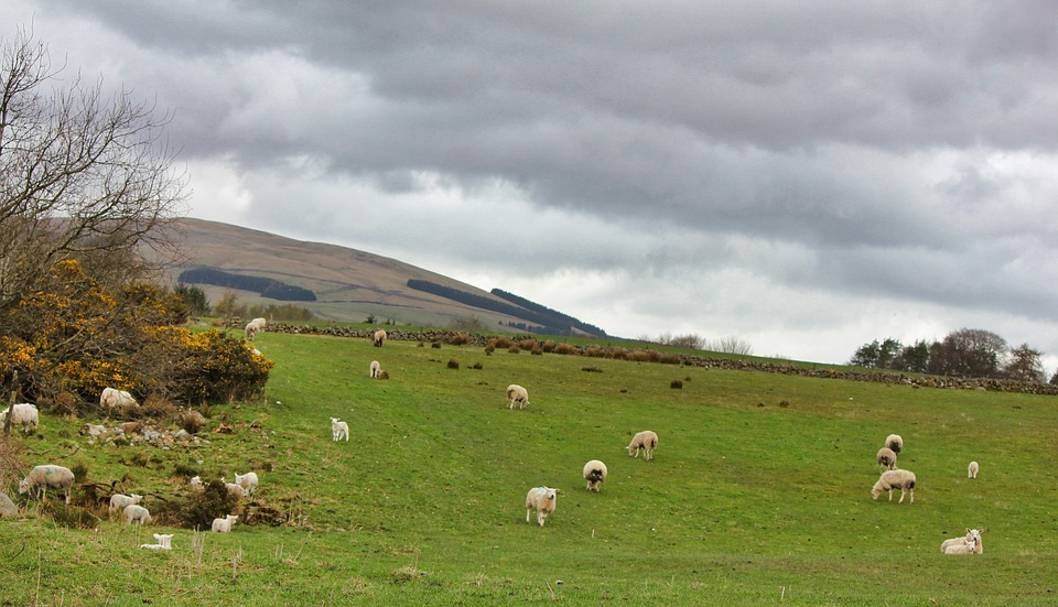 Sheep, Grass, Nature, Farm, Agriculture, Scottish