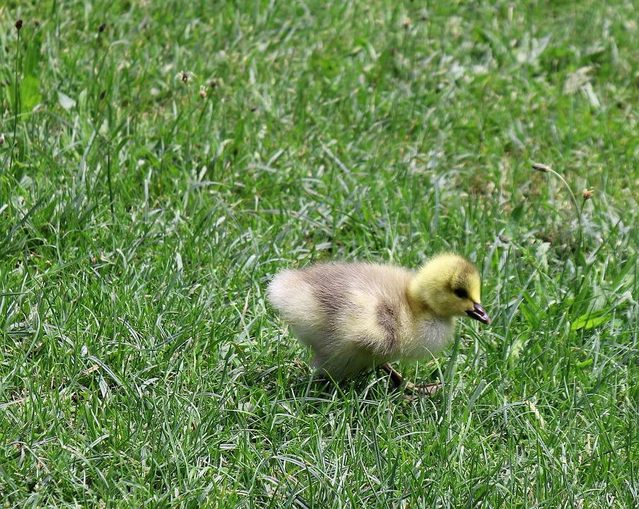 Chicks, Animal, Nature, Goose, Grass, Meadow, Fluff