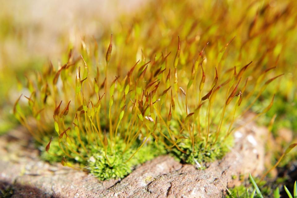 Moss, Close Up, Plant, Grass, Nature
