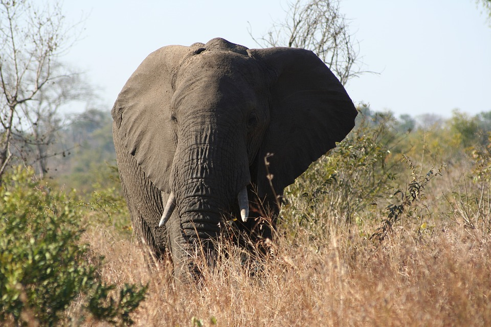Nature, Wildlife, Outdoors, Mammal, Grass, Elephant