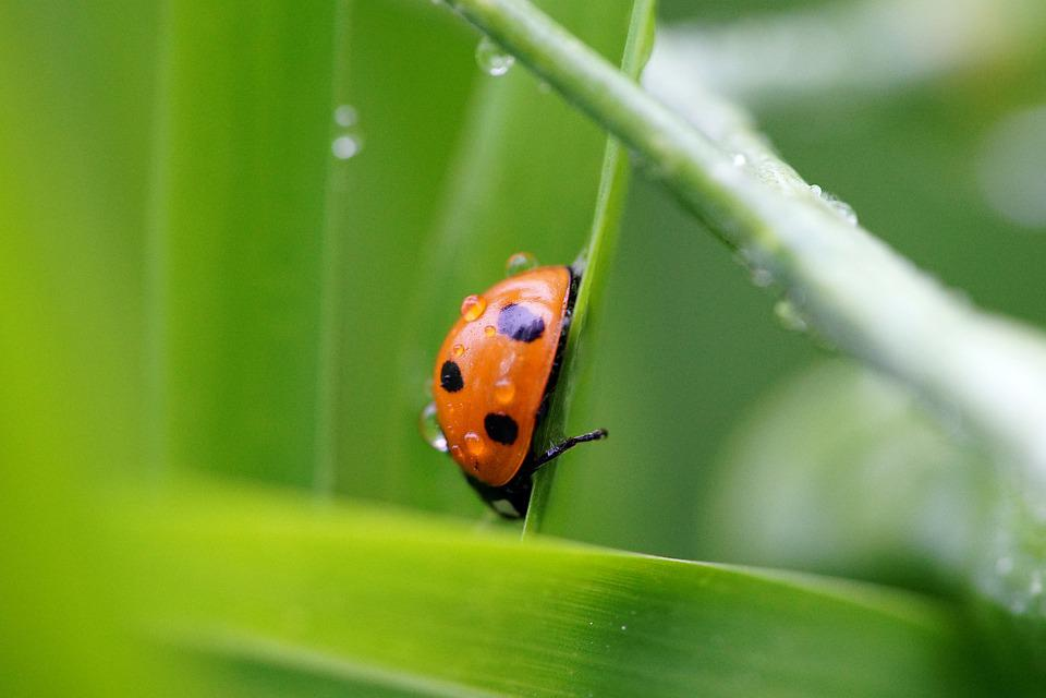 Ladybug, Green, Rain, Grass, Nture, Summer, Beautiful