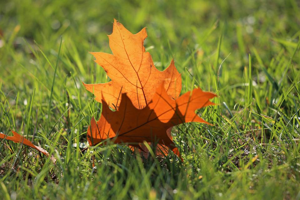 Oak, Quercus, Brown Leaf, Grass, Transparent, Autumn