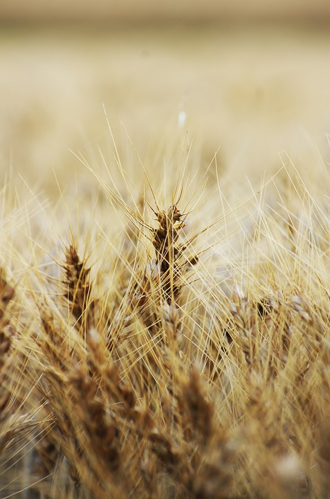 Spike, Plant, Grass, Wheat, Field, Agriculture, Dry