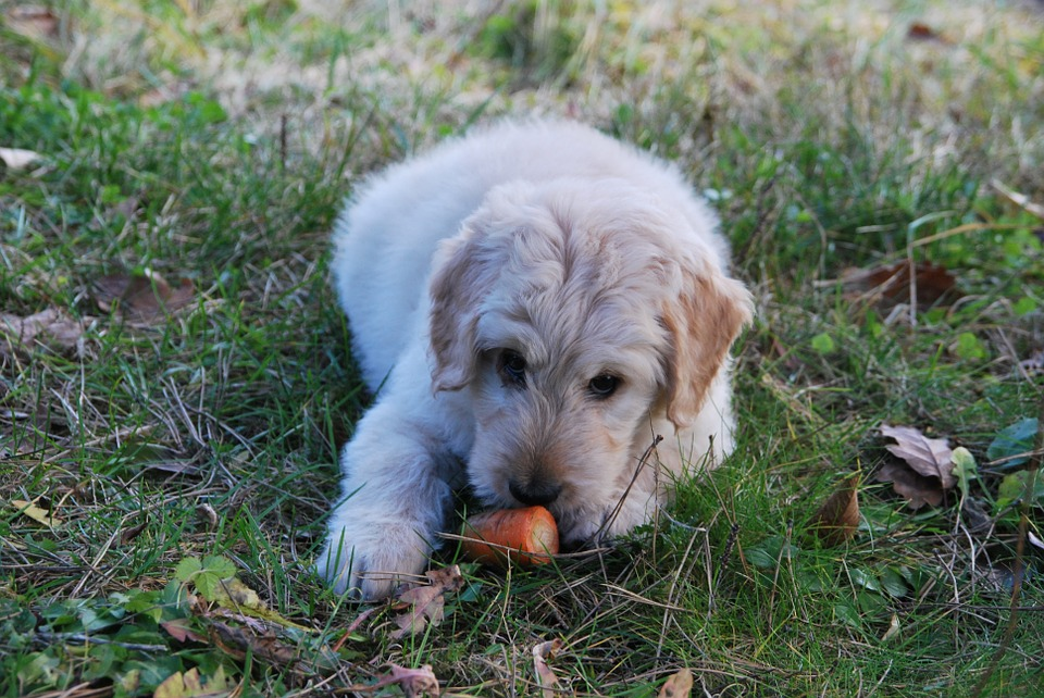 Dog, Carrot, Playing, Grass, Animal, Funny, Pet, Food
