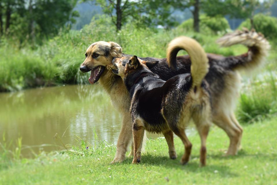 Dogs, Playing, Dogs Playing, Pet, Happy, Fun, Grass