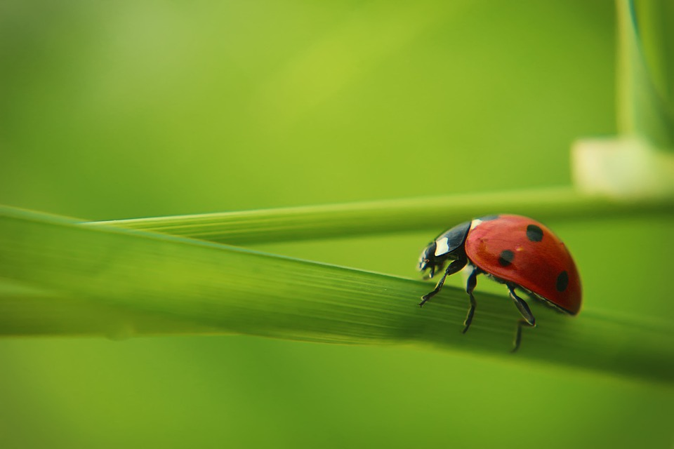 Ladybug, Grass, Nature, Insect, Red, Points, Small