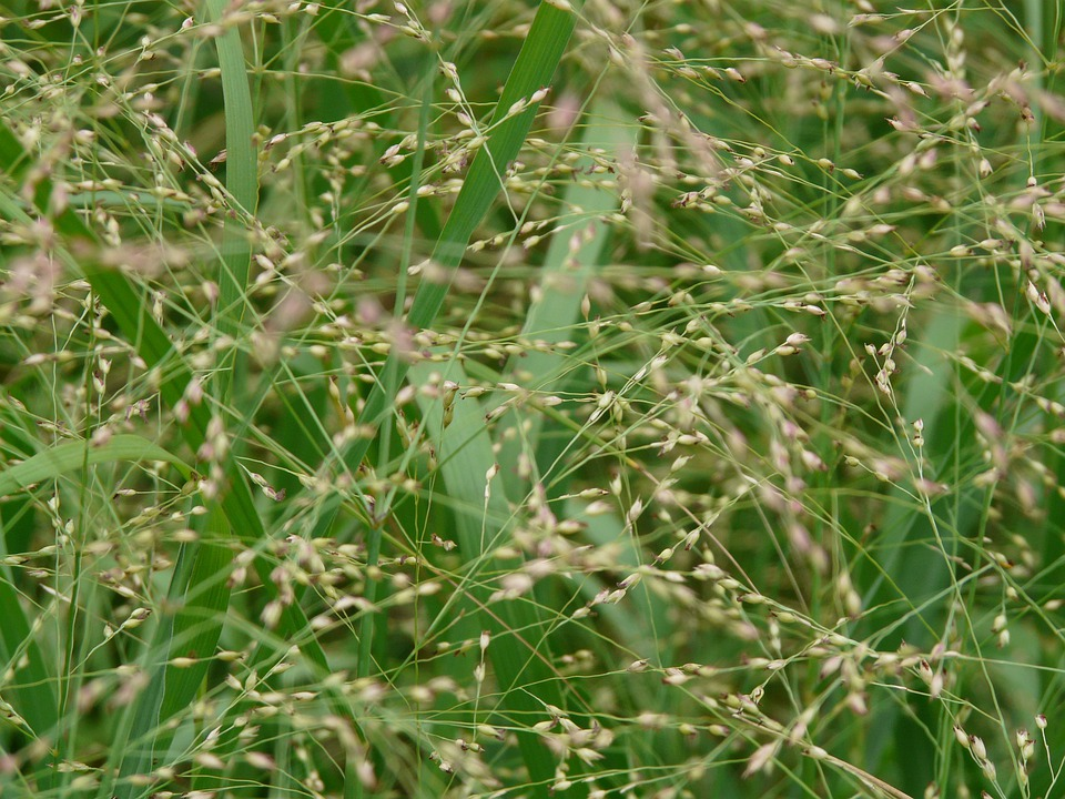 Quaking Grass, Grass, Medium Sized Quaking Grass