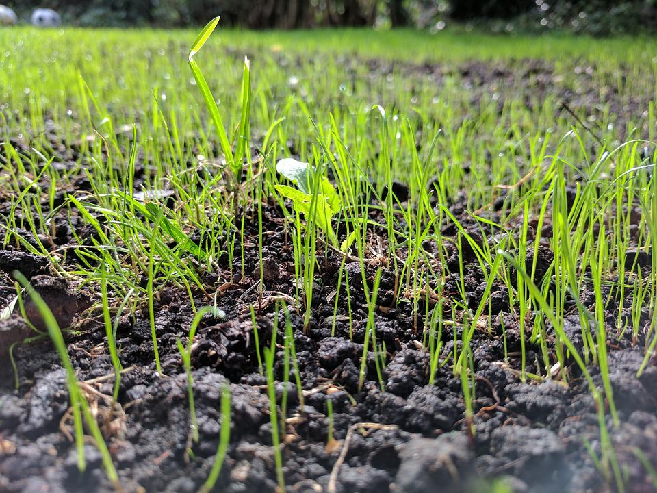 Grass Seed, Up Close, Ground Level, Growth, Grow