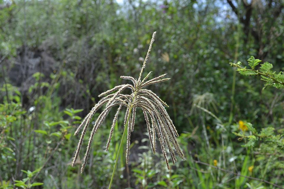 Grass, Flower, Seeds