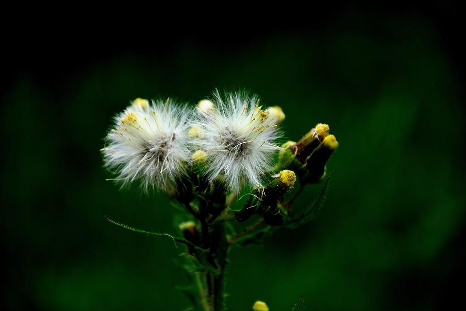 Dandelion, Seeds, Nature, Macro, Grass