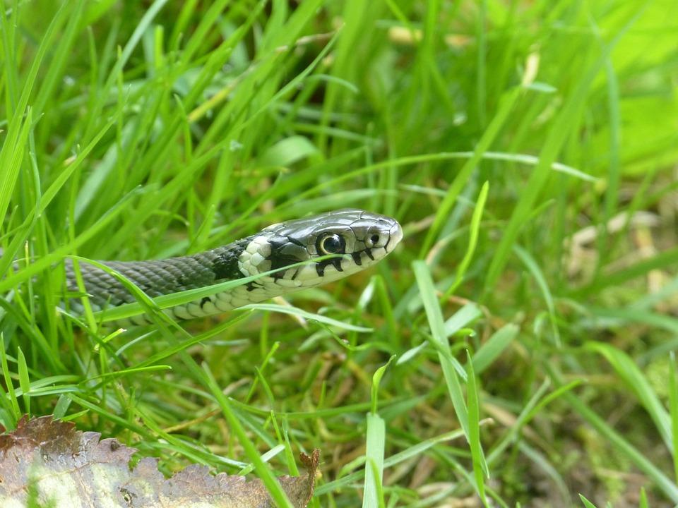 Grass Snake, Snake, Reptile, Natter, Natrix Natrix