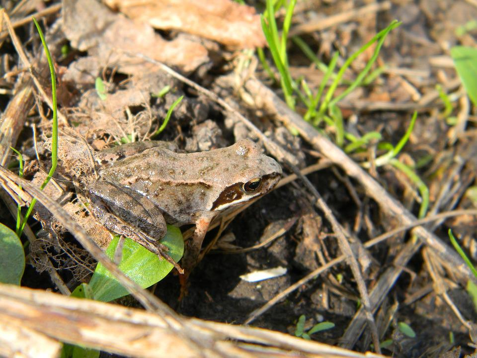 Frog, Mimicry, Nature, Animal, Summer, Grass, Hiding