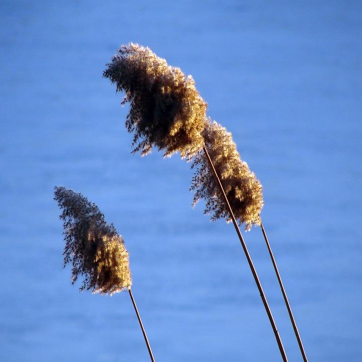 Grass, Tall, Inflorescence, Flora, Floral, Spikes, Sky