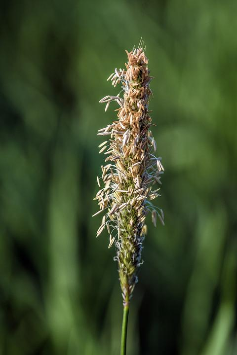 The Flower Of Plantain, Narrow-leaved Plantain, Grass