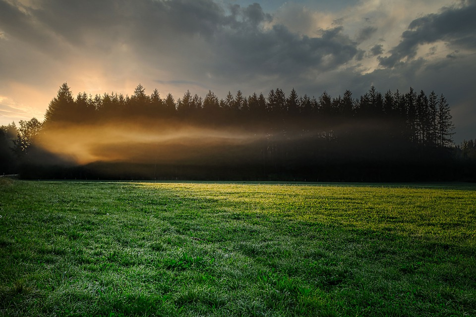 Fog, Grass, Forest, Trees, Conifers, Coniferous
