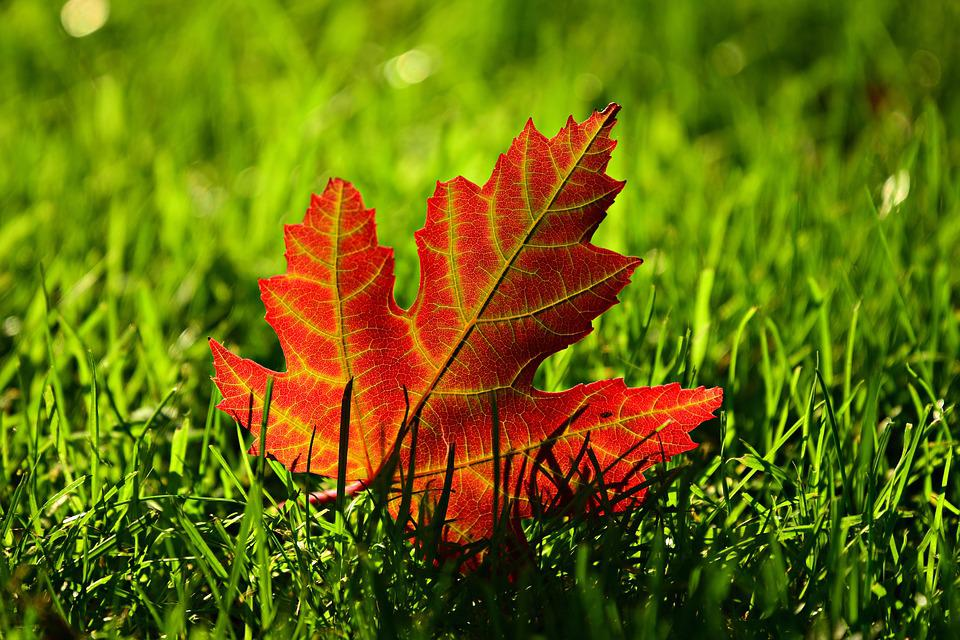 Maple Leaf, Vein, Pattern, Grass, Autumn Colors