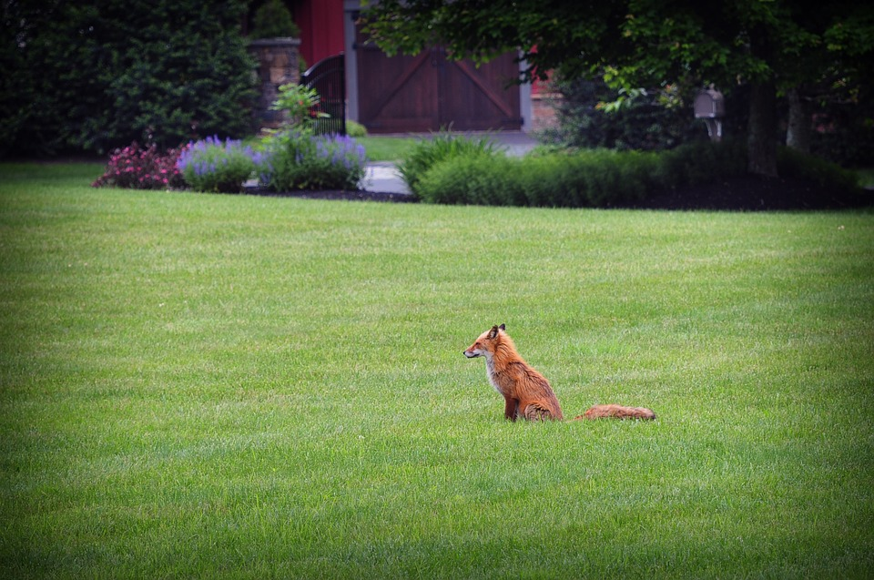 Fox, Wildlife, Grass, Carnivore, Predator, Outdoor, Fur
