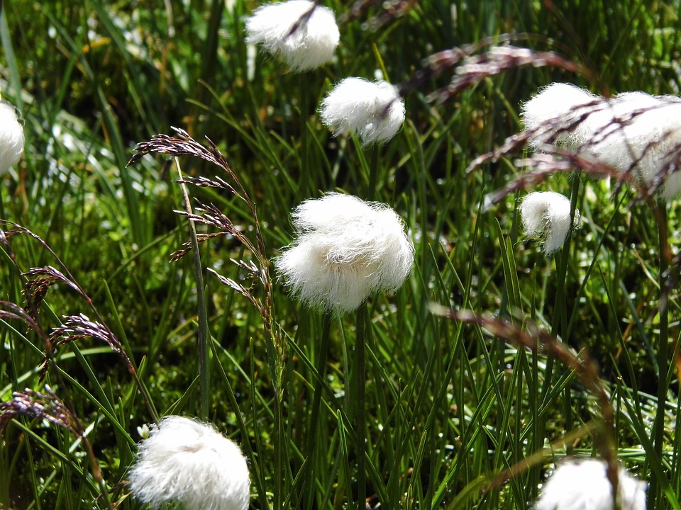 Grasses, White, Alpine Cottongrass, Cotton Balls, Soft