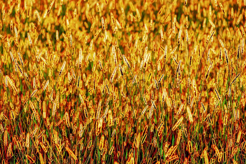 Foxtail, Grasses, Backlighting, Shining, Nature, Autumn