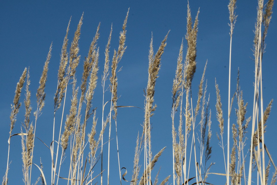 Halme, Grasses, Sunshine, Cereals, Spike, Sky