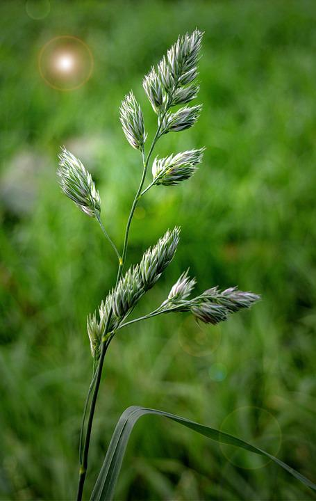 Grasses, Seeds, Close Up, Nature, Green
