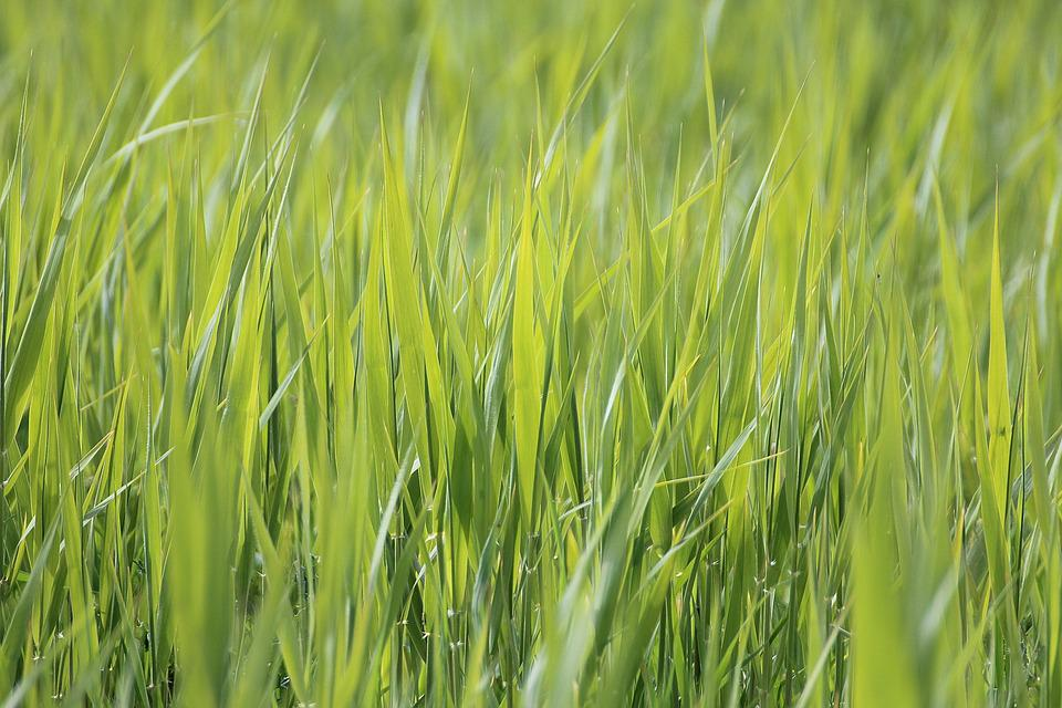 Grass, Meadow, Close, Nature, Grasses, Green