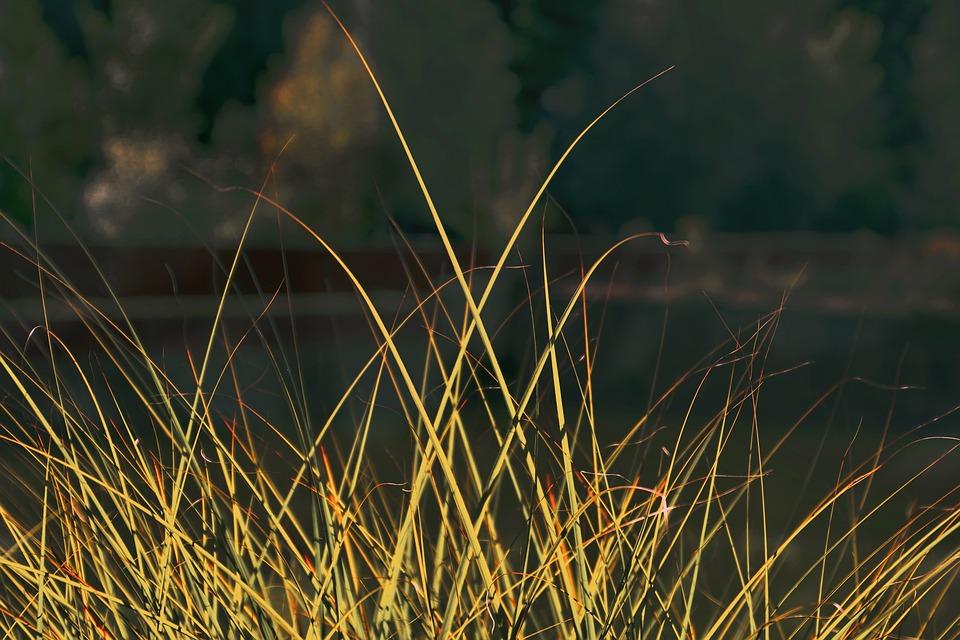 Grass, Halme, Blades Of Grass, Nature, Macro, Grasses