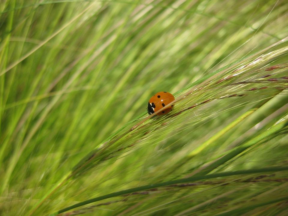 Plant, Grass, Nature, Grasses, Beetle, Halme, Meadow