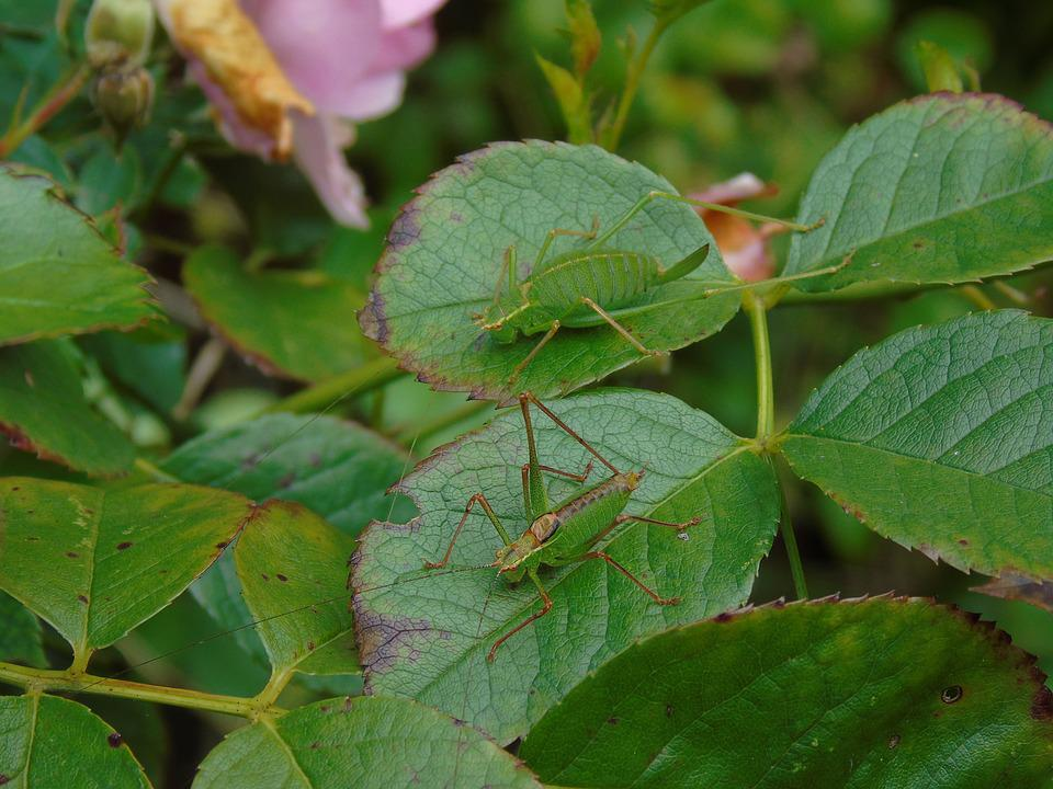 Nature, Grasshopper, Camouflage