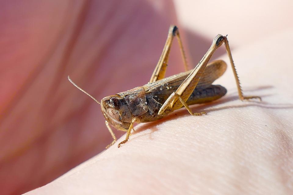 Grasshopper, Insect, Close Up, Animal, Probe, Macro