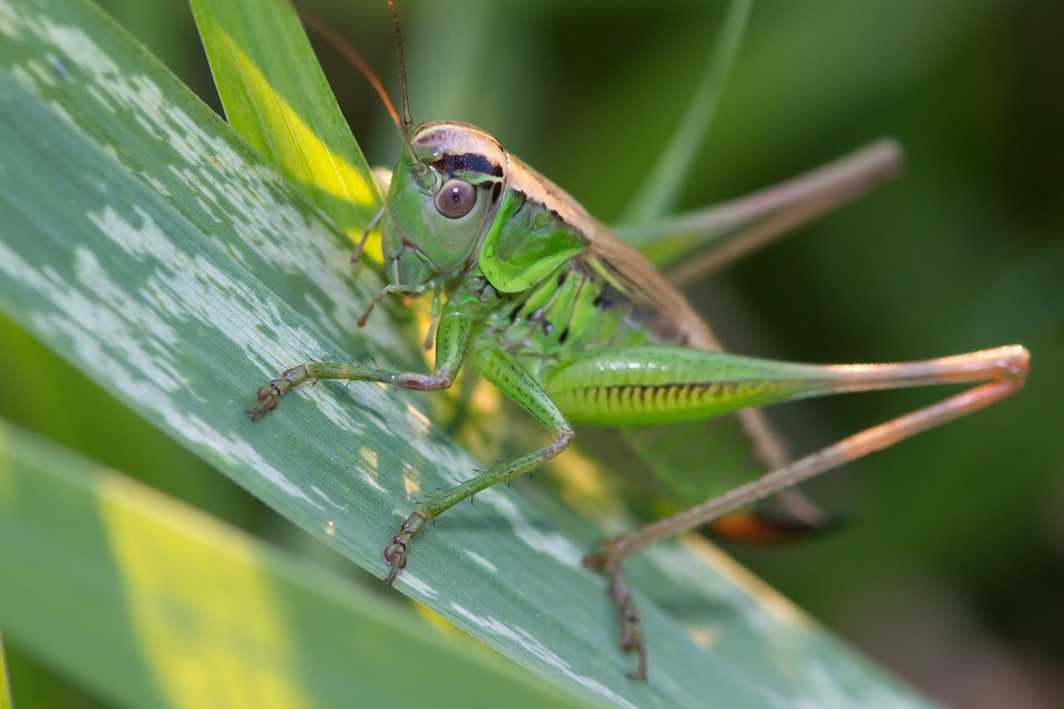 Grasshopper, Meadow, Grass, Insects, Jumping, Green