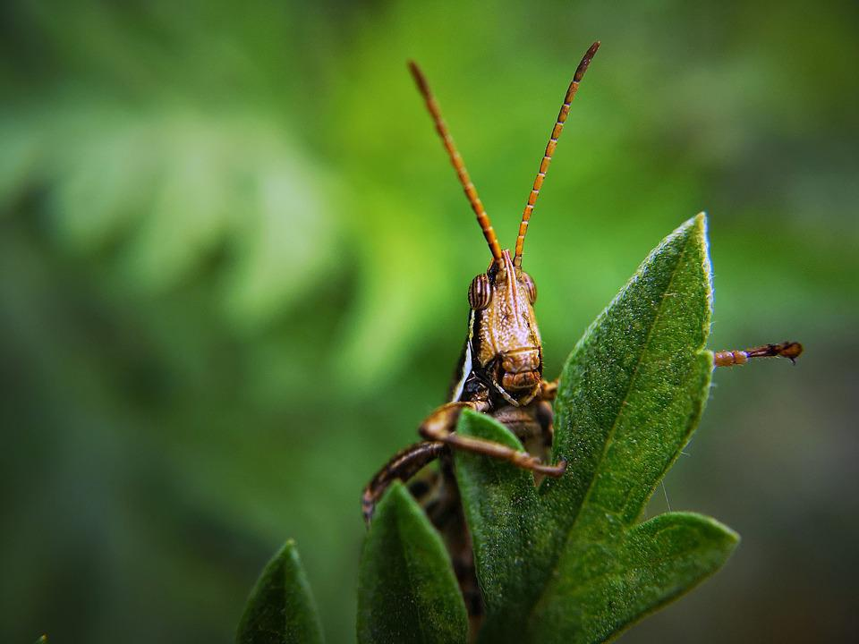 Insect, Grasshopper, Bug, Plant, Locust, Garden, Pest