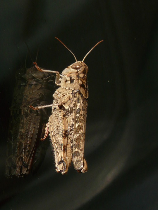 Grasshopper, Brown, Italian Locust