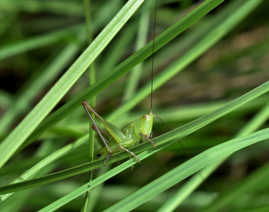 Grasshopper, Katydid, Meadow Katydid Nymph, Nymph