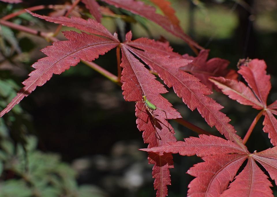 Nymph Grasshopper On Japanese Maple, Grasshopper